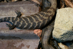 Blue-tongued Lizards